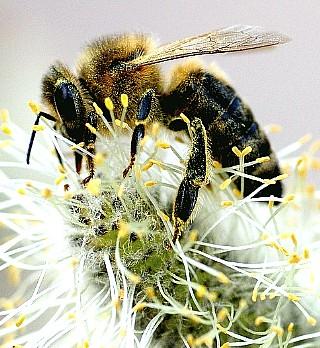 Пыльца полезные свойства